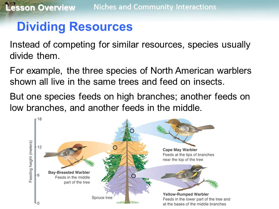 Lesson Overview Lesson Overview Niches and Community Interactions Dividing Resources Instead of competing for similar resources, species usually divid