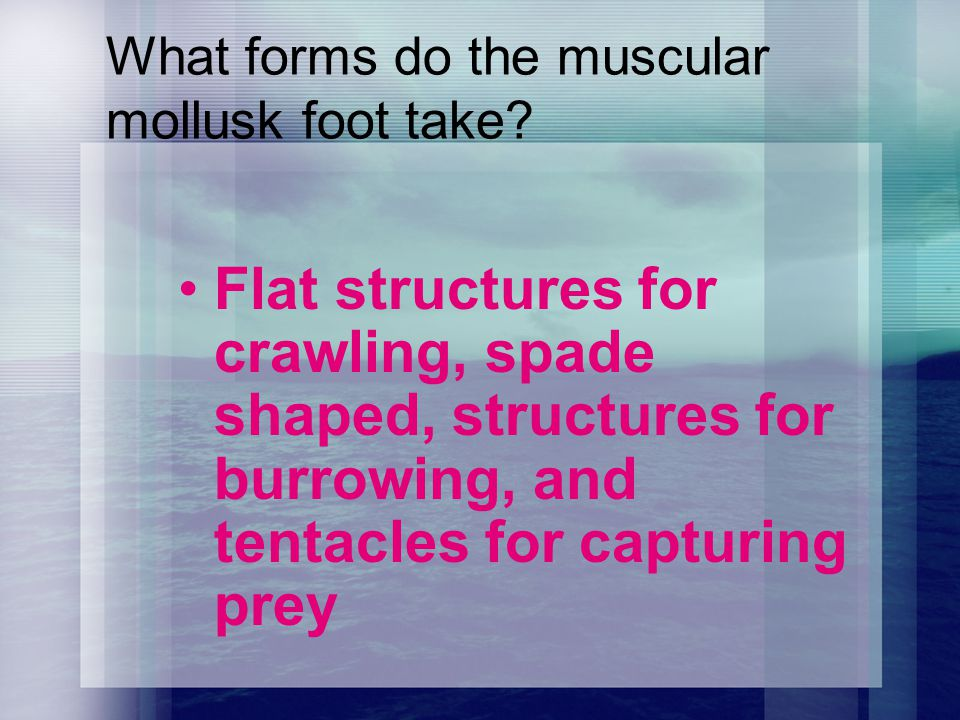 What forms do the muscular mollusk foot take? Flat structures for crawling, spade shaped, structures for burrowing, and tentacles for capturing prey