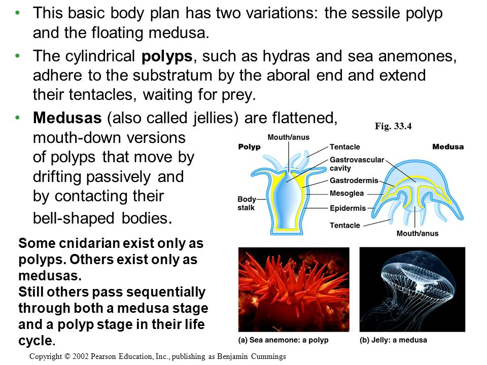 This basic body plan has two variations: the sessile polyp and the floating medusa. The cylindrical polyps, such as hydras and sea anemones, adhere to