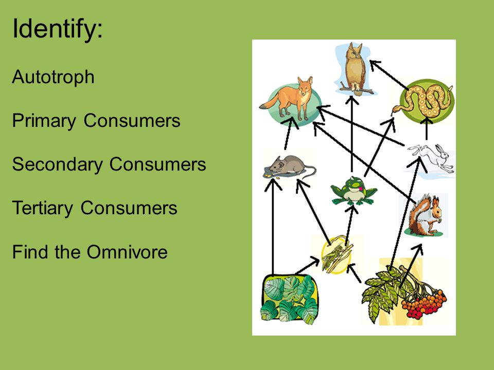 Primary Consumers Examples Secondary Consumers