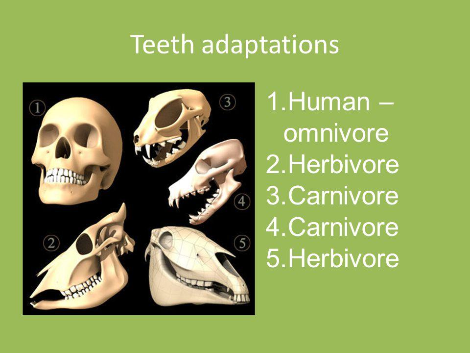 Teeth adaptations 1.Human – omnivore 2.Herbivore 3.Carnivore 4.Carnivore 5.Herbivore