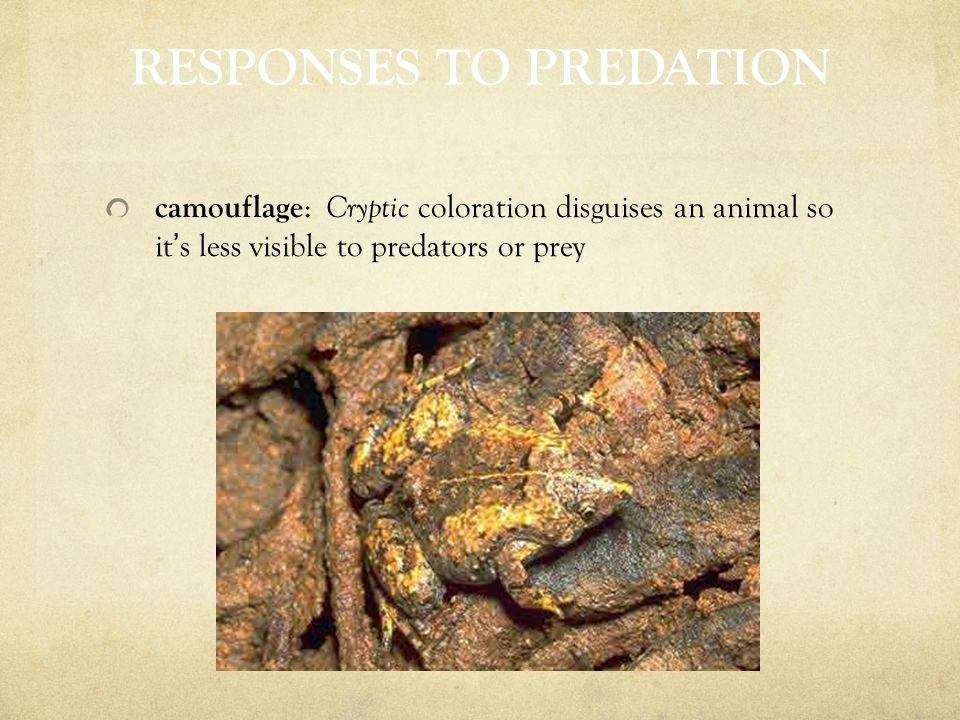 RESPONSES TO PREDATION camouflage : Cryptic coloration disguises an animal so it ' s less visible to predators or prey