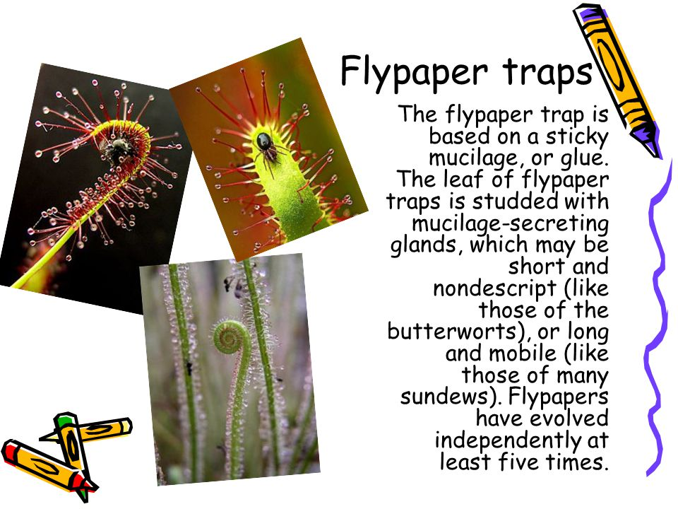 Flypaper traps The flypaper trap is based on a sticky mucilage, or glue. The leaf of flypaper traps is studded with mucilage-secreting glands, which m