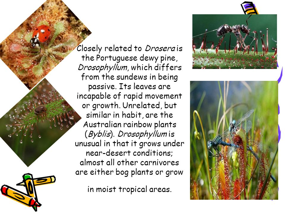 Closely related to Drosera is the Portuguese dewy pine, Drosophyllum, which differs from the sundews in being passive. Its leaves are incapable of rap