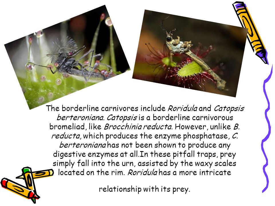The borderline carnivores include Roridula and Catopsis berteroniana. Catopsis is a borderline carnivorous bromeliad, like Brocchinia reducta. However
