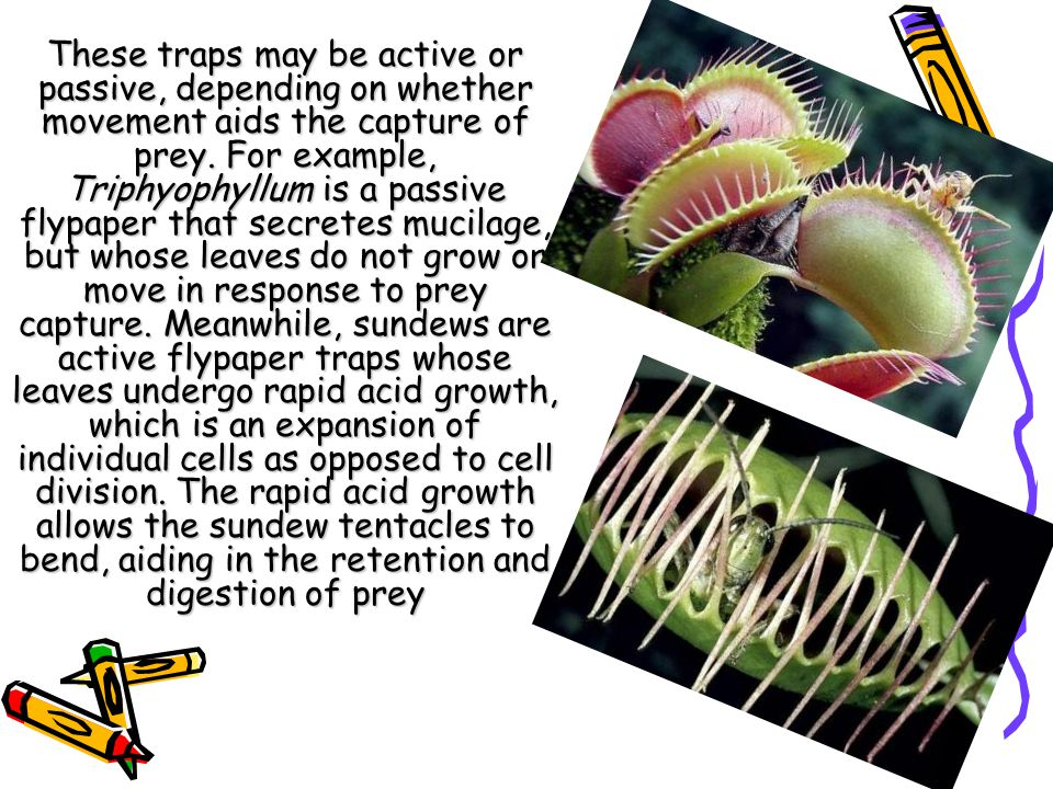 These traps may be active or passive, depending on whether movement aids the capture of prey. For example, Triphyophyllum is a passive flypaper that s