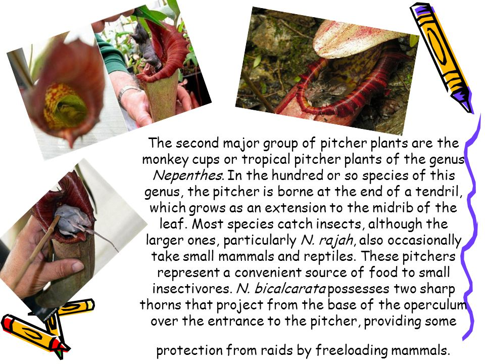 The second major group of pitcher plants are the monkey cups or tropical pitcher plants of the genus Nepenthes. In the hundred or so species of this g