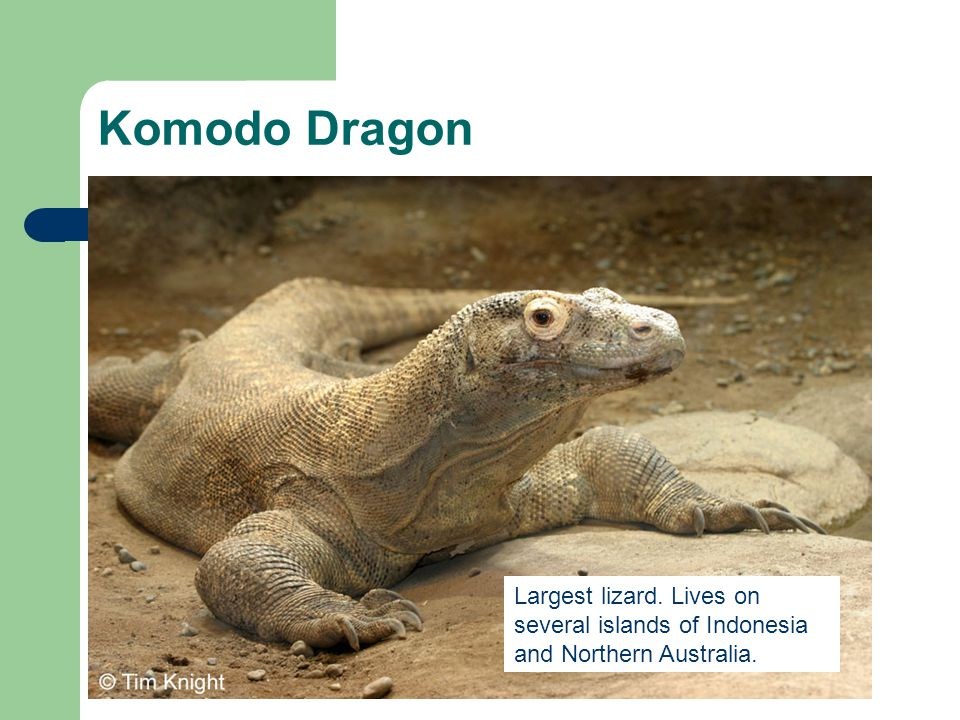 Komodo Dragon Largest lizard. Lives on several islands of Indonesia and Northern Australia.