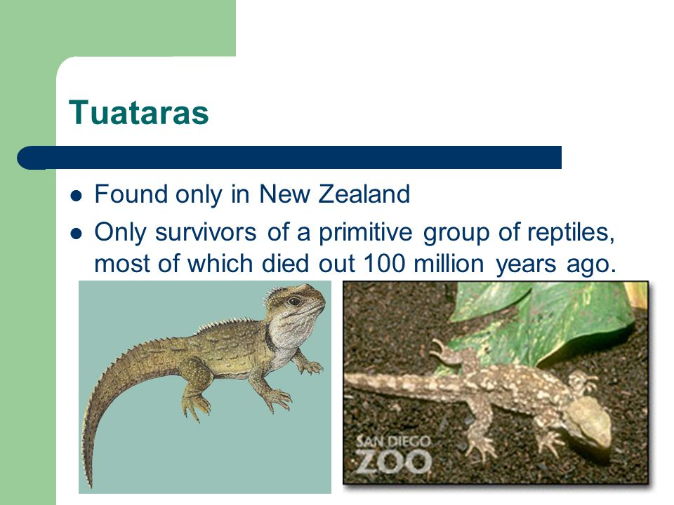 Tuataras Found only in New Zealand Only survivors of a primitive group of reptiles, most of which died out 100 million years ago.