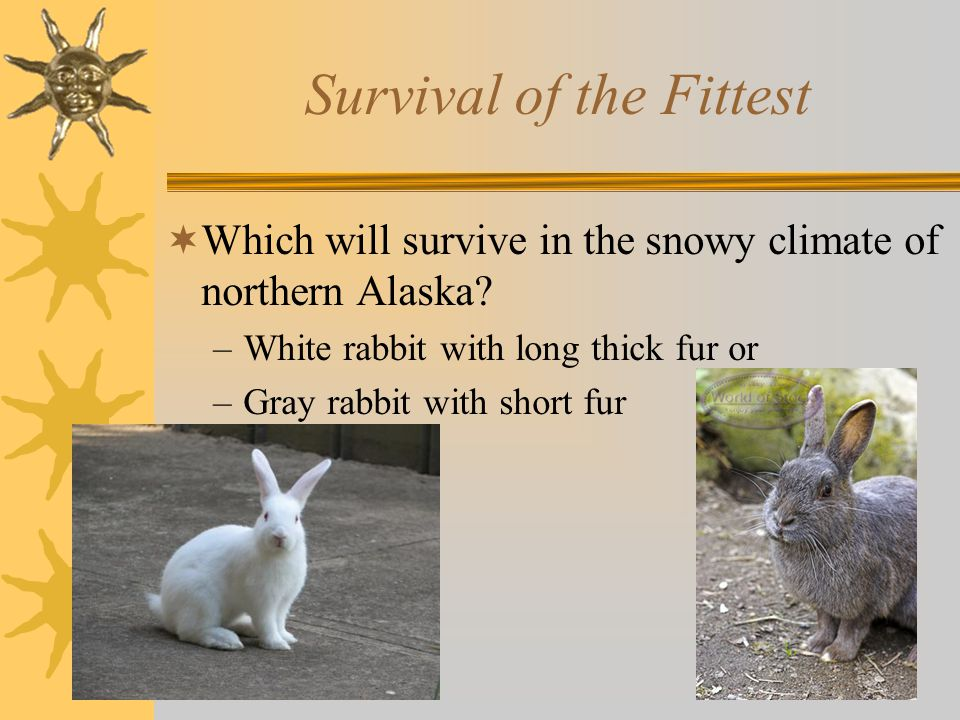 Survival of the Fittest  Which will survive in the snowy climate of northern Alaska.