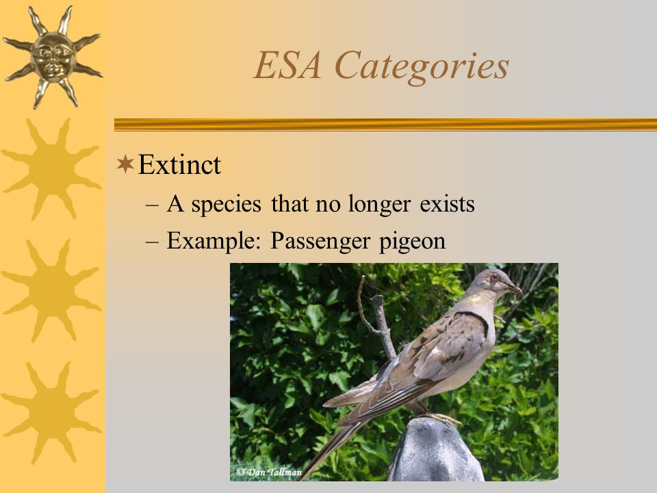 ESA Categories  Extinct –A species that no longer exists –Example: Passenger pigeon