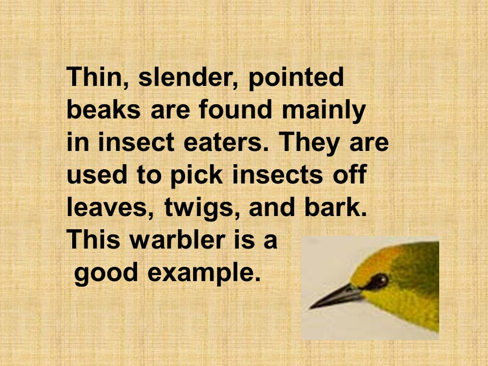 Thin, slender, pointed beaks are found mainly in insect eaters. They are used to pick insects off leaves, twigs, and bark. This warbler is a good exam