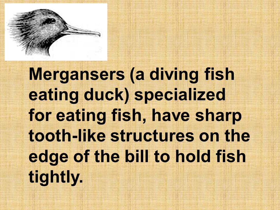 Mergansers (a diving fish eating duck) specialized for eating fish, have sharp tooth-like structures on the edge of the bill to hold fish tightly.