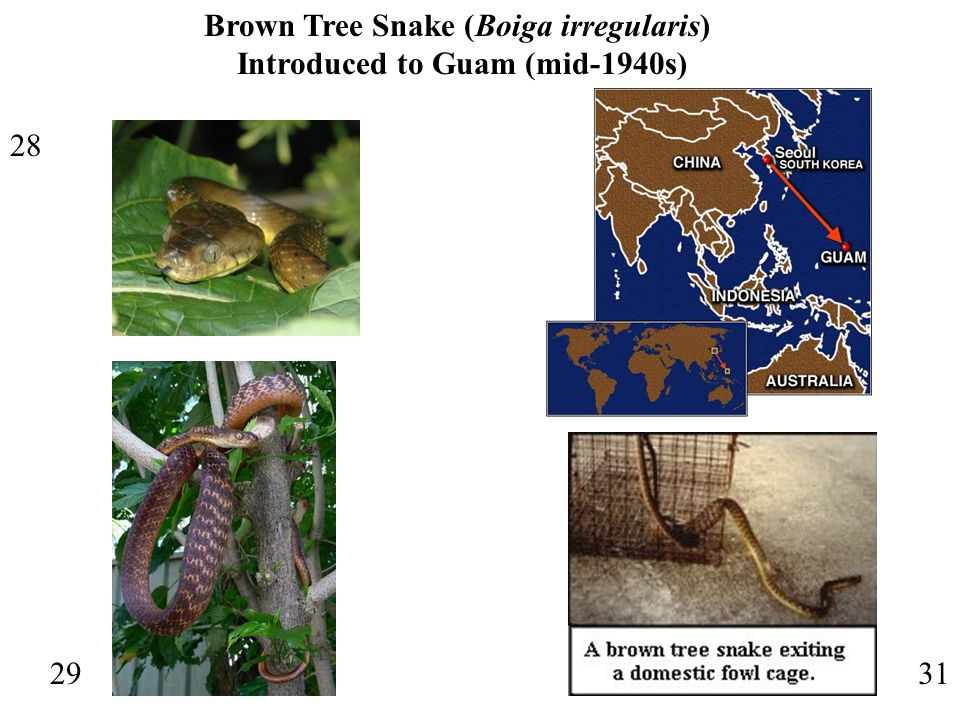 28 29 Brown Tree Snake (Boiga irregularis) Introduced to Guam (mid-1940s) 31