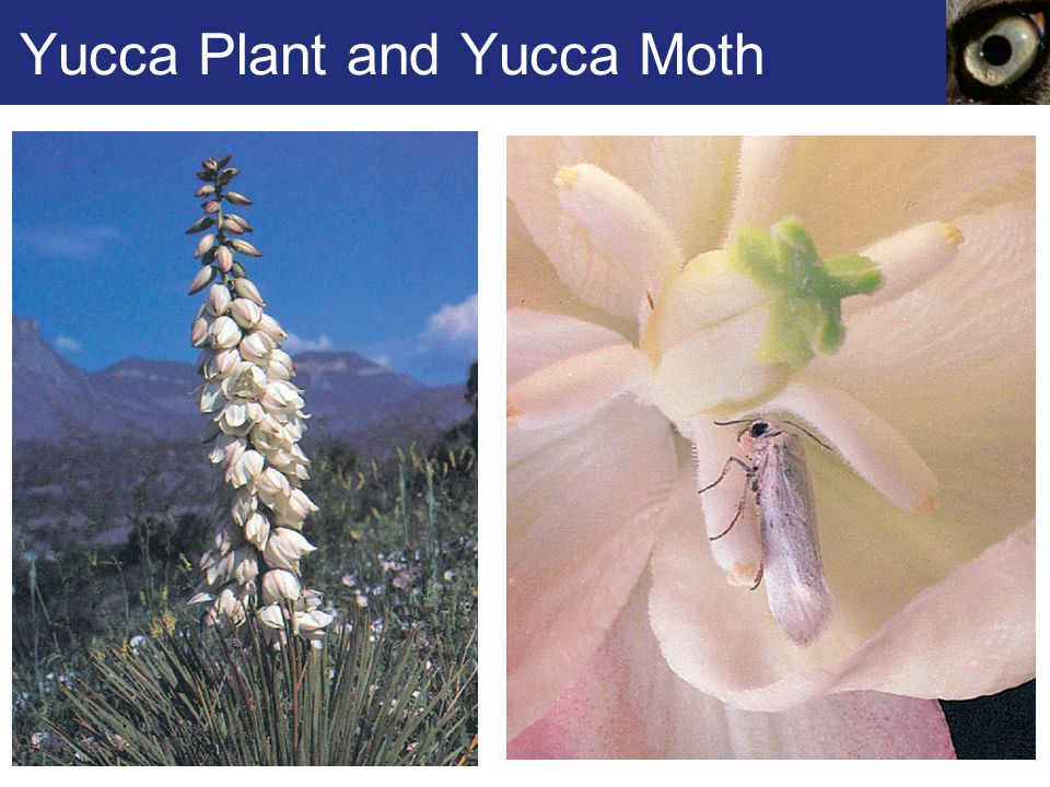 Yucca Plant and Yucca Moth