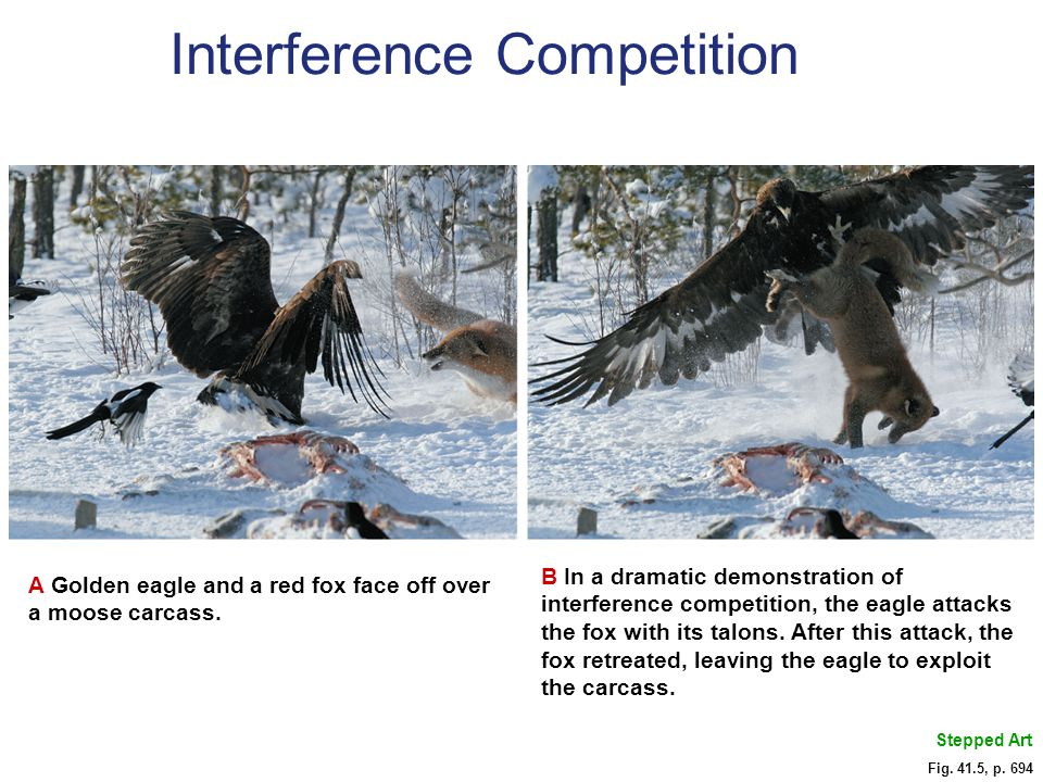 Fig. 41.5, p. 694 Stepped Art A Golden eagle and a red fox face off over a moose carcass. B In a dramatic demonstration of interference competition, t