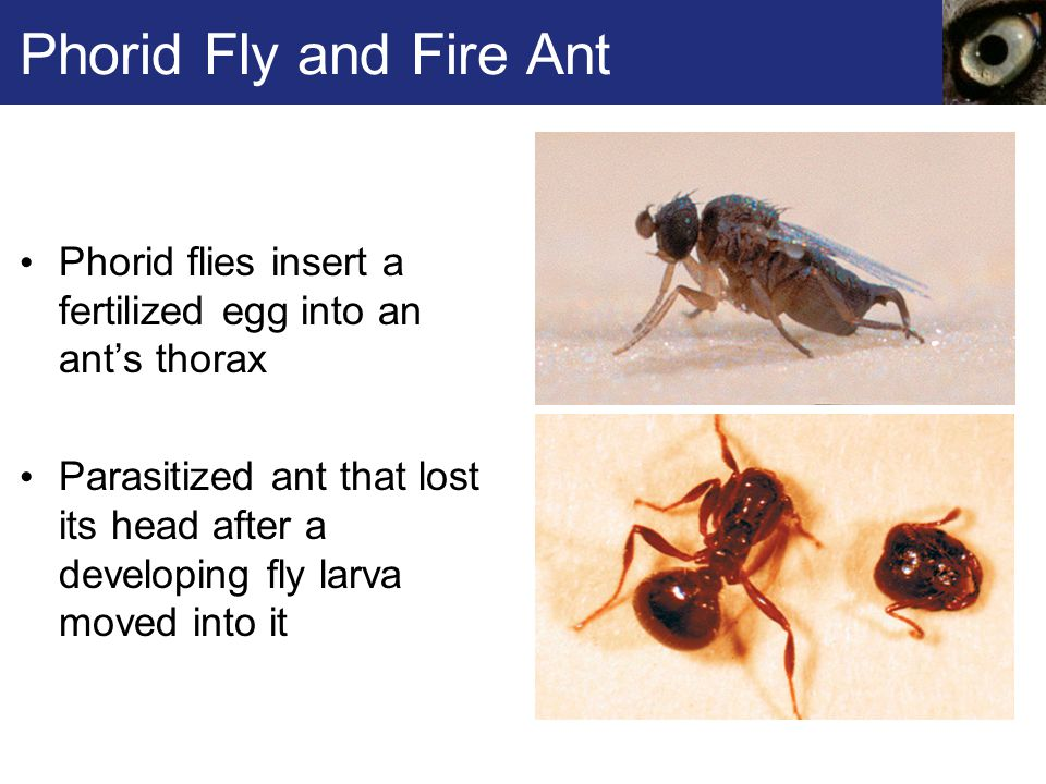 Phorid Fly and Fire Ant Phorid flies insert a fertilized egg into an ant's thorax Parasitized ant that lost its head after a developing fly larva move