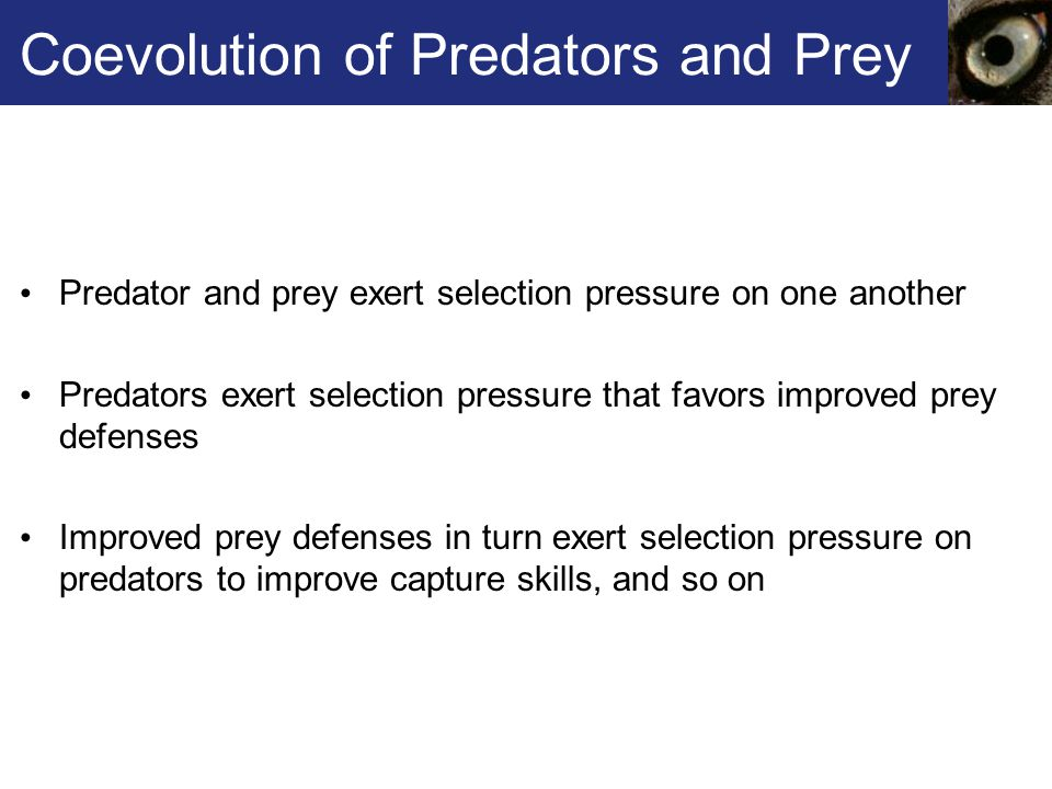 Coevolution of Predators and Prey Predator and prey exert selection pressure on one another Predators exert selection pressure that favors improved pr