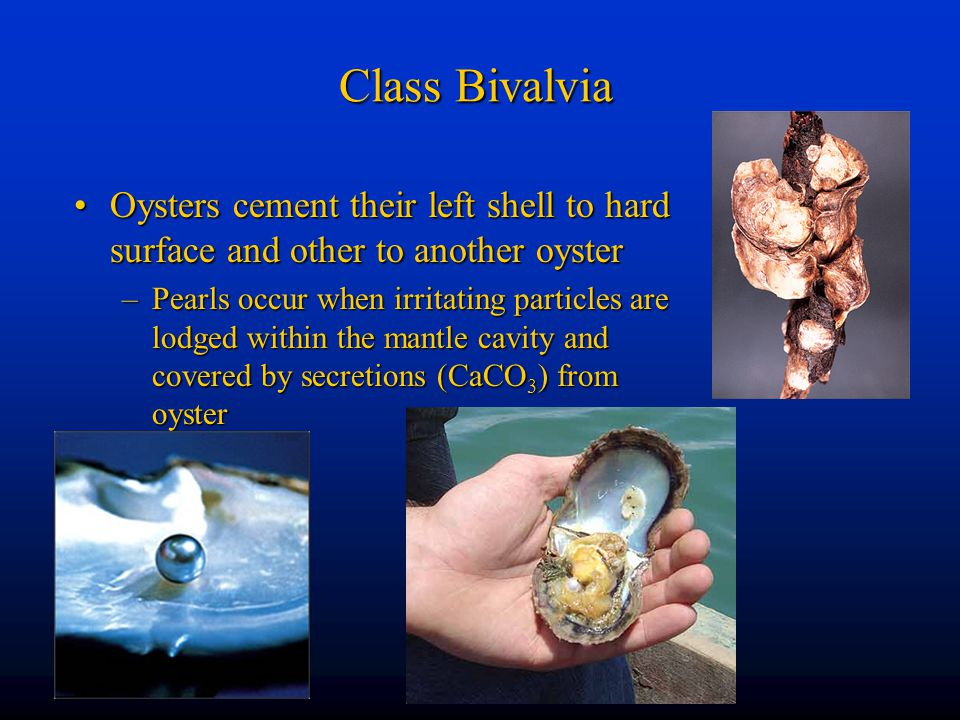 Class Bivalvia Oysters cement their left shell to hard surface and other to another oysterOysters cement their left shell to hard surface and other to