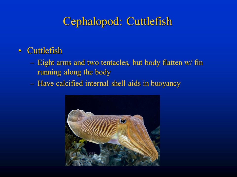 Cephalopod: Cuttlefish CuttlefishCuttlefish –Eight arms and two tentacles, but body flatten w/ fin running along the body –Have calcified internal she