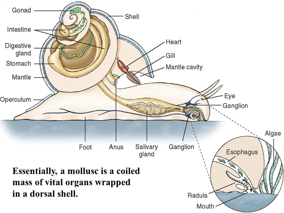 Essentially, a mollusc is a coiled mass of vital organs wrapped in a dorsal shell.