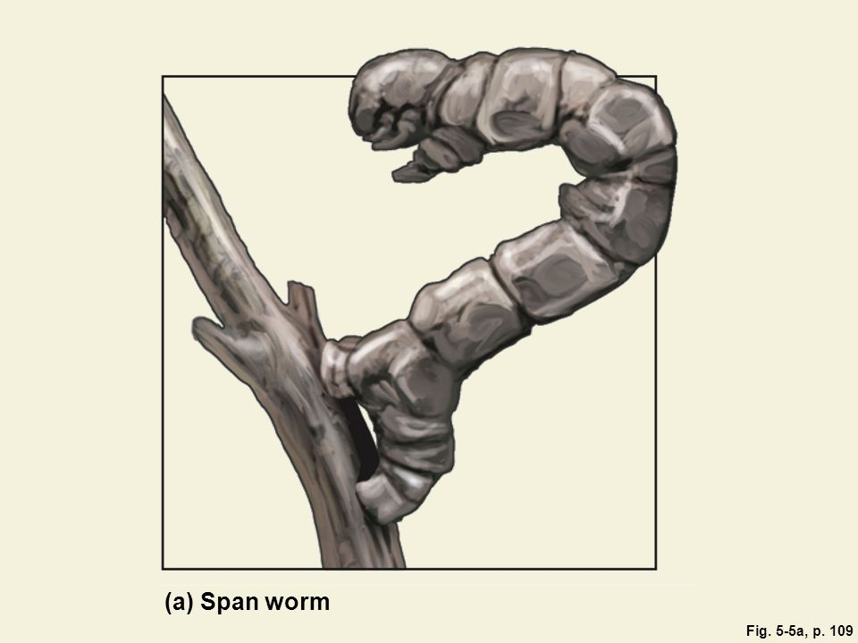 Fig. 5-5a, p. 109 (a) Span worm