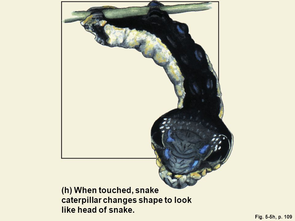 Fig. 5-5h, p. 109 (h) When touched, snake caterpillar changes shape to look like head of snake.
