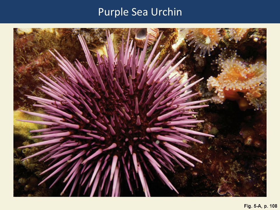 Purple Sea Urchin Fig. 5-A, p. 108