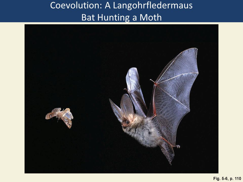 Coevolution: A Langohrfledermaus Bat Hunting a Moth Fig. 5-6, p. 110