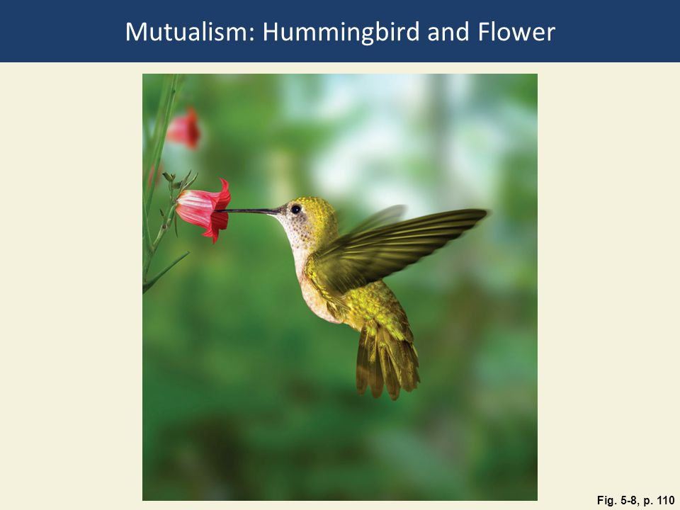 Fig. 5-8, p. 110 Mutualism: Hummingbird and Flower