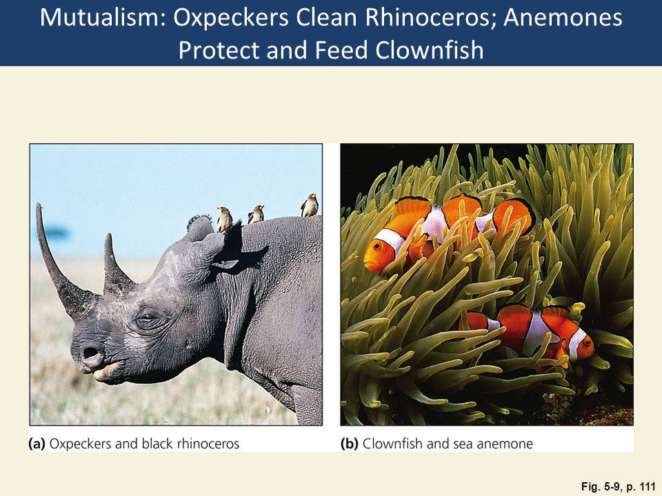 Mutualism: Oxpeckers Clean Rhinoceros; Anemones Protect and Feed Clownfish Fig. 5-9, p. 111