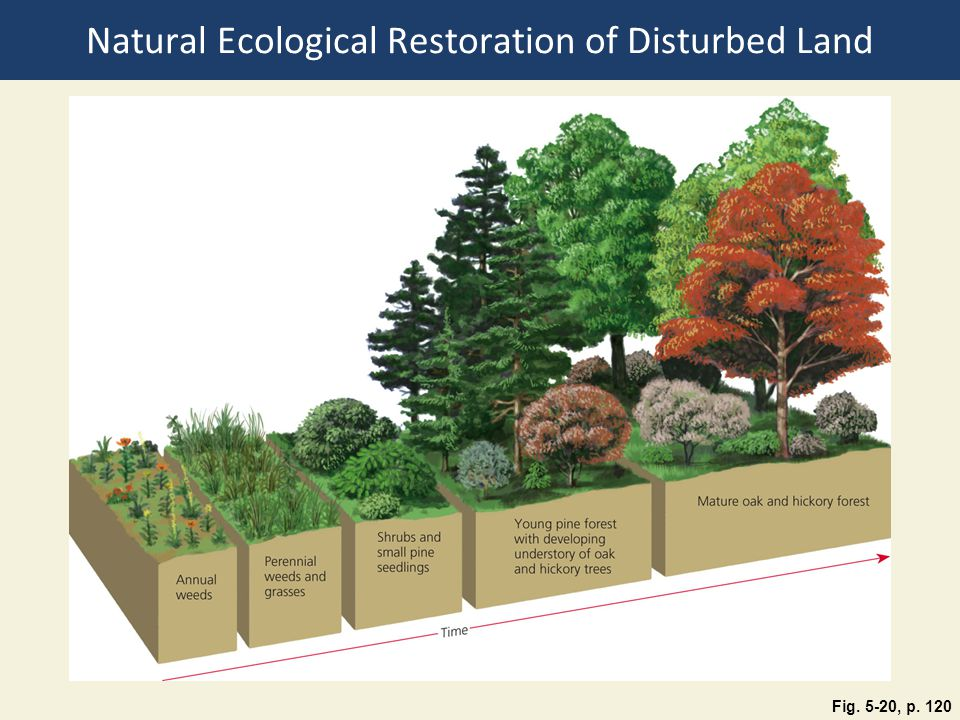 Natural Ecological Restoration of Disturbed Land Fig. 5-20, p. 120