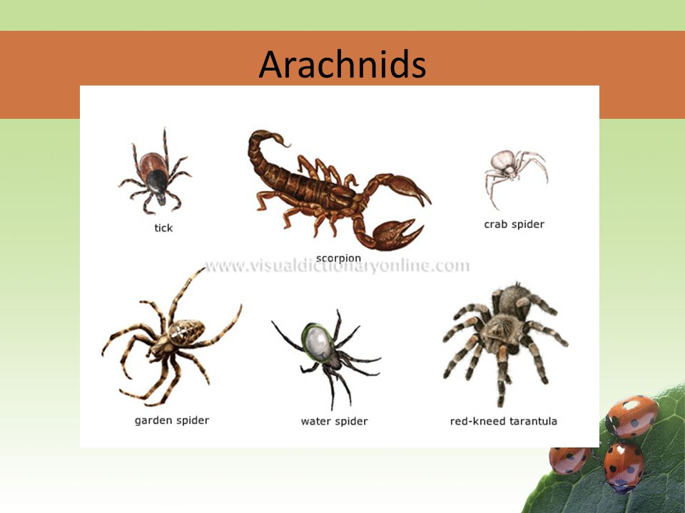 Phylogeny SPIDERS!