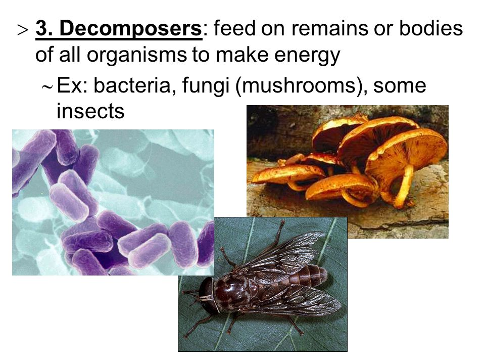  3. Decomposers: feed on remains or bodies of all organisms to make energy  Ex: bacteria, fungi (mushrooms), some insects
