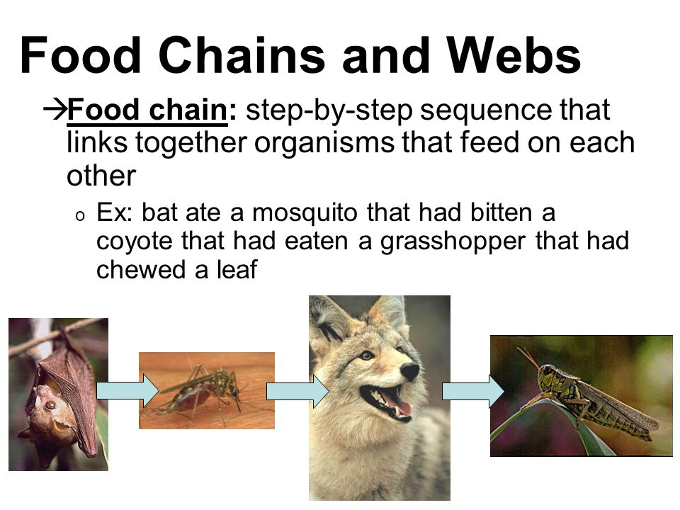 Food Chains and Webs  Food chain: step-by-step sequence that links together organisms that feed on each other o Ex: bat ate a mosquito that had bitten a coyote that had eaten a grasshopper that had chewed a leaf