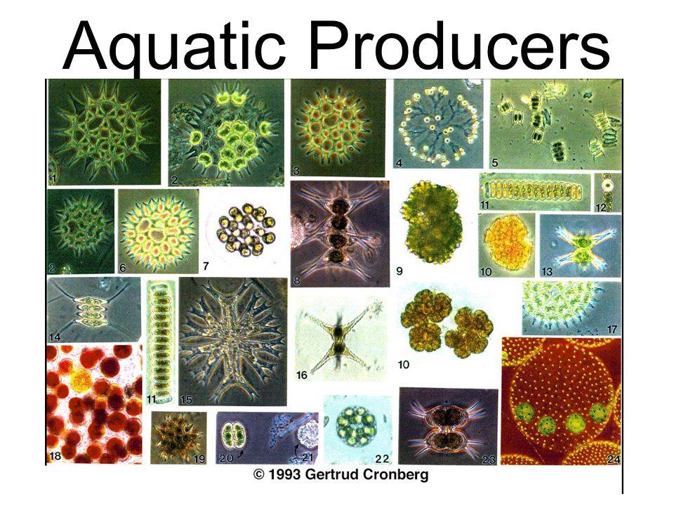 Aquatic Producers