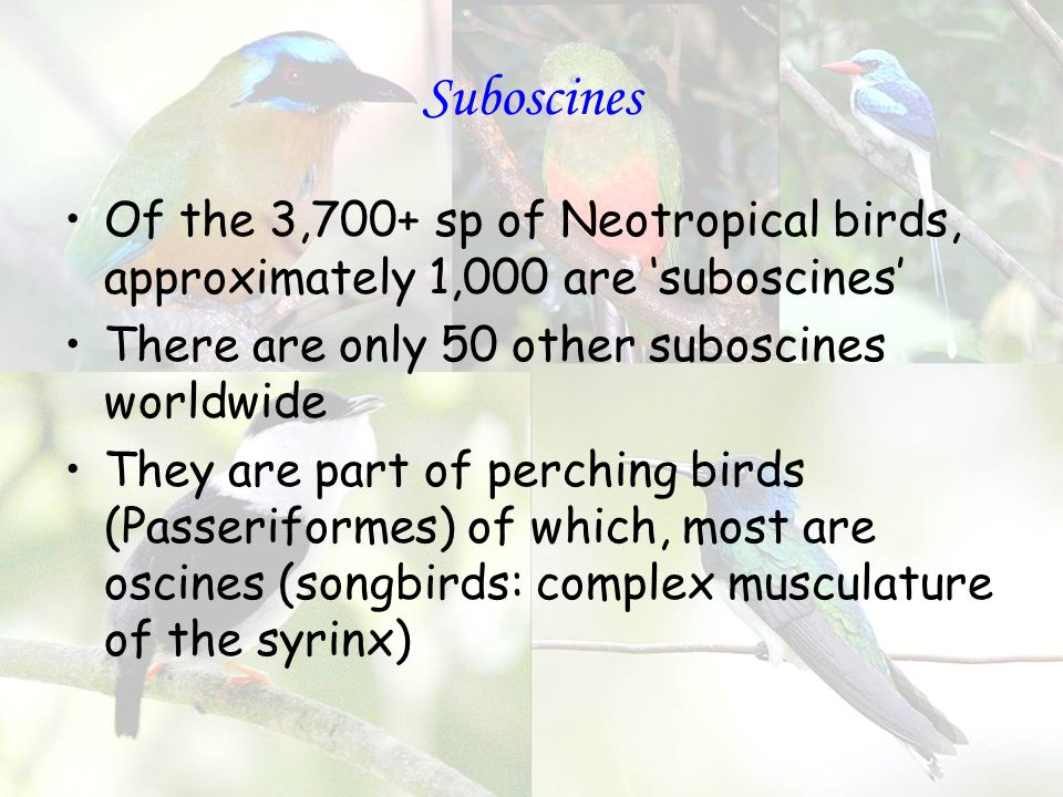 Suboscines Of the 3,700+ sp of Neotropical birds, approximately 1,000 are 'suboscines' There are only 50 other suboscines worldwide They are part of perching birds (Passeriformes) of which, most are oscines (songbirds: complex musculature of the syrinx)