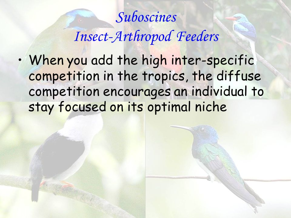 Suboscines Insect-Arthropod Feeders When you add the high inter-specific competition in the tropics, the diffuse competition encourages an individual to stay focused on its optimal niche