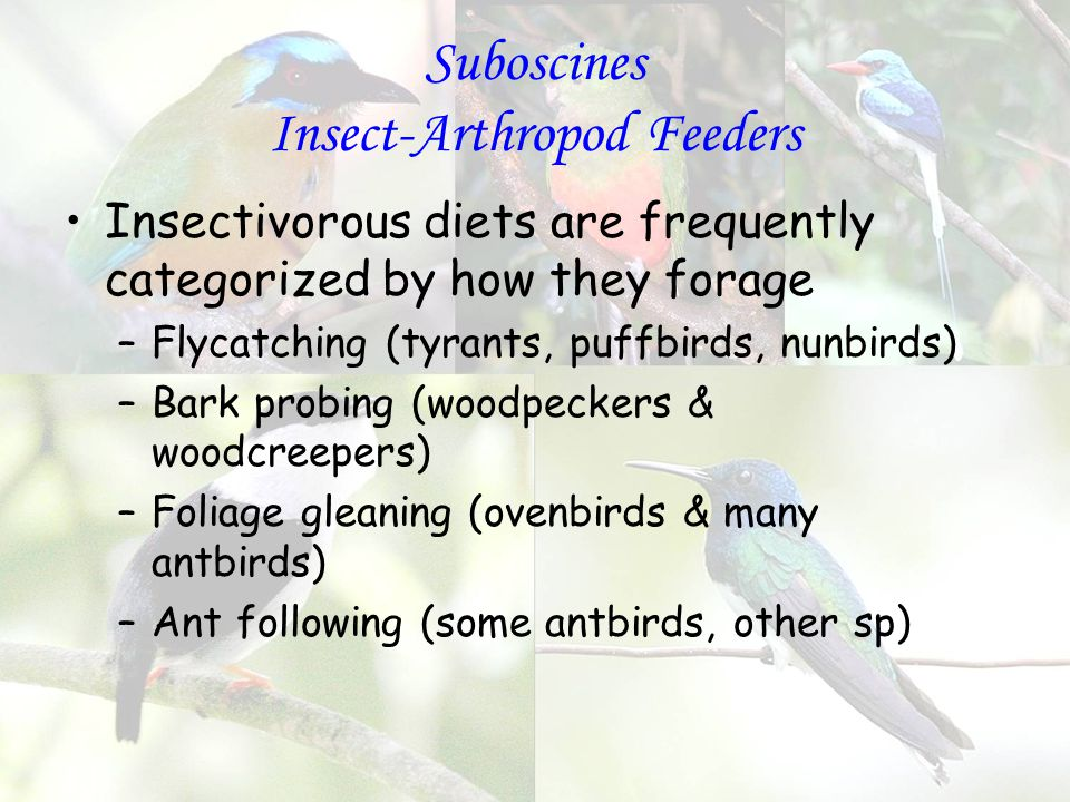 Suboscines Insect-Arthropod Feeders Insectivorous diets are frequently categorized by how they forage –Flycatching (tyrants, puffbirds, nunbirds) –Bark probing (woodpeckers & woodcreepers) –Foliage gleaning (ovenbirds & many antbirds) –Ant following (some antbirds, other sp)