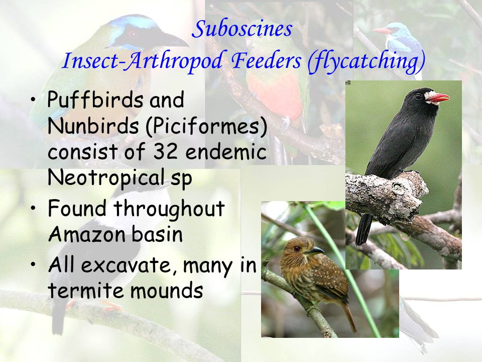 Suboscines Insect-Arthropod Feeders (flycatching) Puffbirds and Nunbirds (Piciformes) consist of 32 endemic Neotropical sp Found throughout Amazon basin All excavate, many in termite mounds