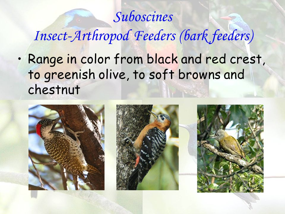 Suboscines Insect-Arthropod Feeders (bark feeders) Range in color from black and red crest, to greenish olive, to soft browns and chestnut