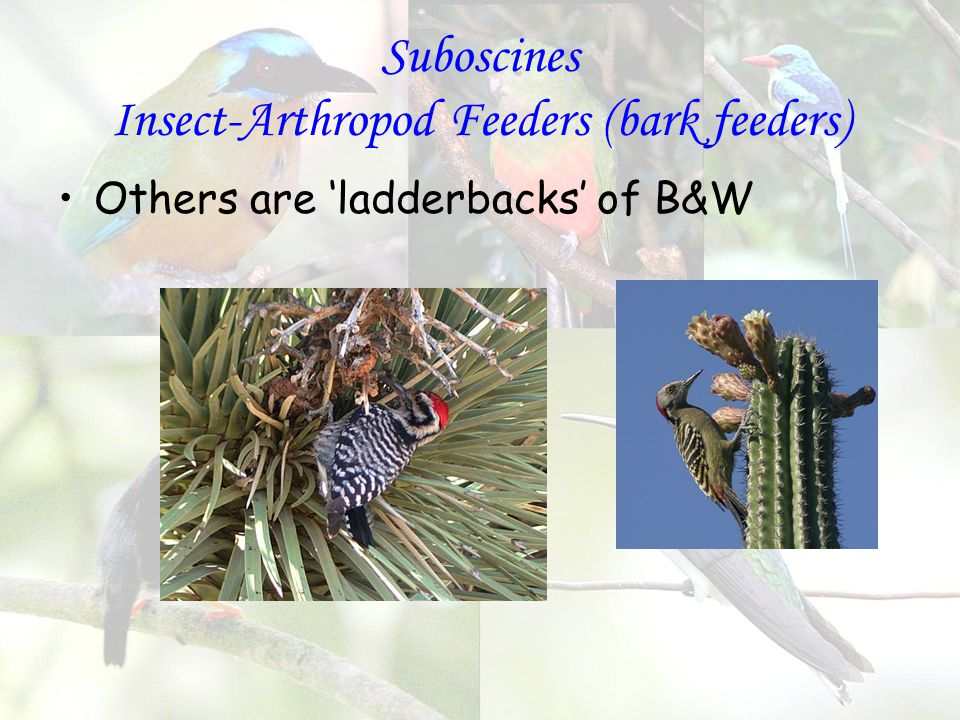 Suboscines Insect-Arthropod Feeders (bark feeders) Others are 'ladderbacks' of B&W