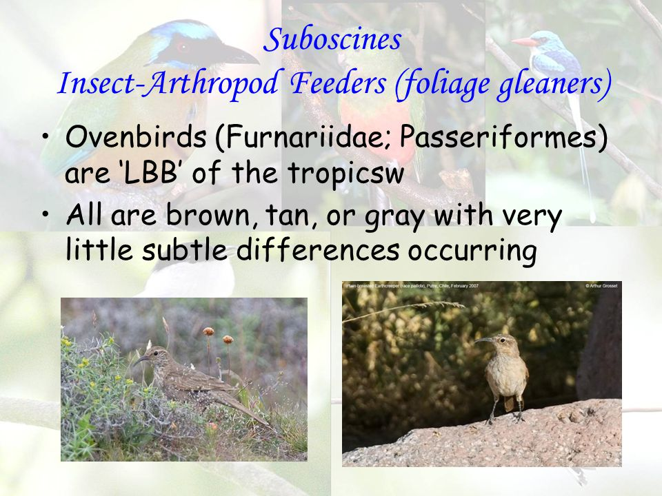 Suboscines Insect-Arthropod Feeders (foliage gleaners) Ovenbirds (Furnariidae; Passeriformes) are 'LBB' of the tropicsw All are brown, tan, or gray with very little subtle differences occurring