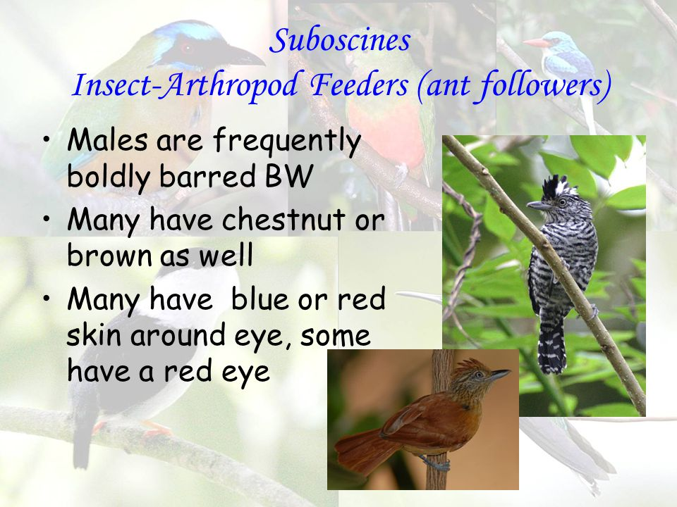 Suboscines Insect-Arthropod Feeders (ant followers) Males are frequently boldly barred BW Many have chestnut or brown as well Many have blue or red skin around eye, some have a red eye