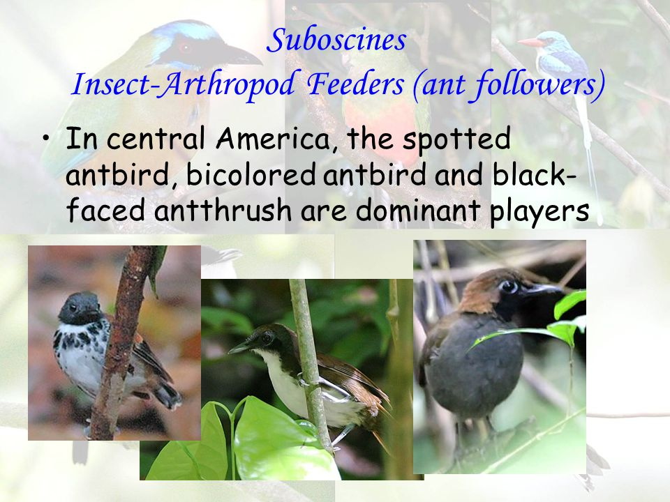 Suboscines Insect-Arthropod Feeders (ant followers) In central America, the spotted antbird, bicolored antbird and black- faced antthrush are dominant players