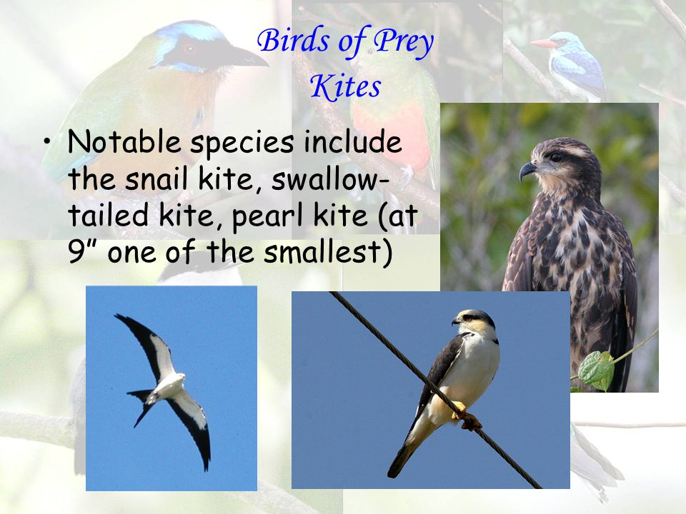 Birds of Prey Kites Notable species include the snail kite, swallow- tailed kite, pearl kite (at 9 one of the smallest)