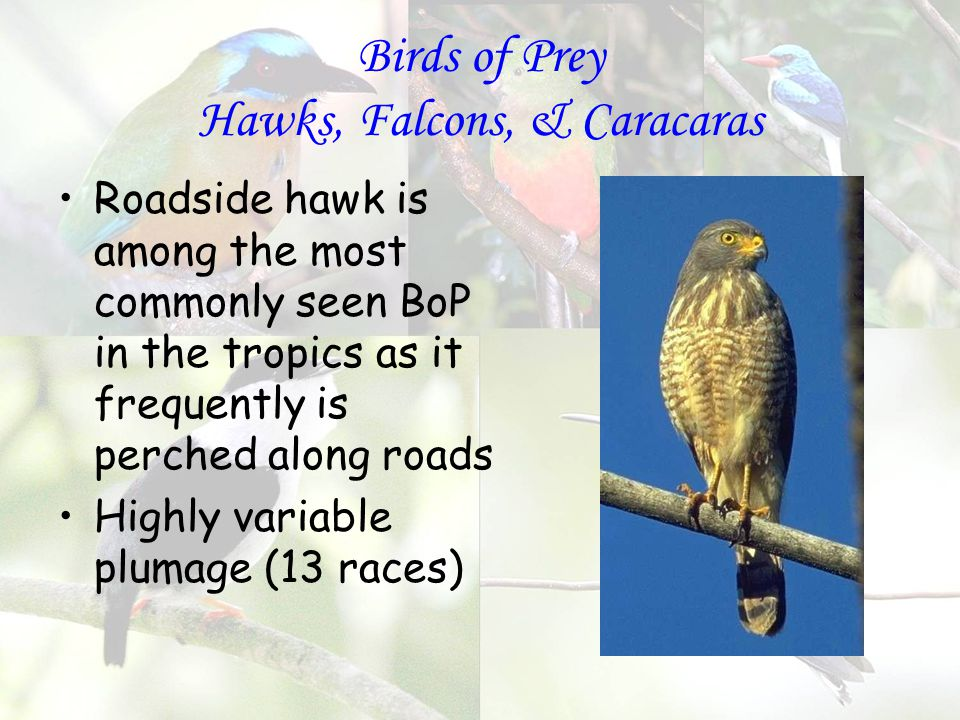 Birds of Prey Hawks, Falcons, & Caracaras Roadside hawk is among the most commonly seen BoP in the tropics as it frequently is perched along roads Highly variable plumage (13 races)