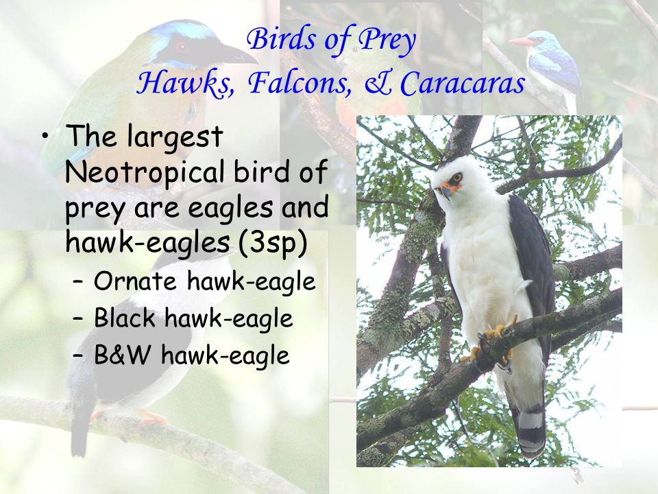 Birds of Prey Hawks, Falcons, & Caracaras The largest Neotropical bird of prey are eagles and hawk-eagles (3sp) –Ornate hawk-eagle –Black hawk-eagle –B&W hawk-eagle