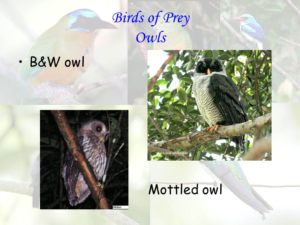 Birds of Prey Owls B&W owl Mottled owl