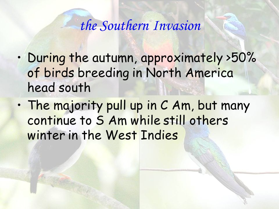the Southern Invasion During the autumn, approximately >50% of birds breeding in North America head south The majority pull up in C Am, but many continue to S Am while still others winter in the West Indies